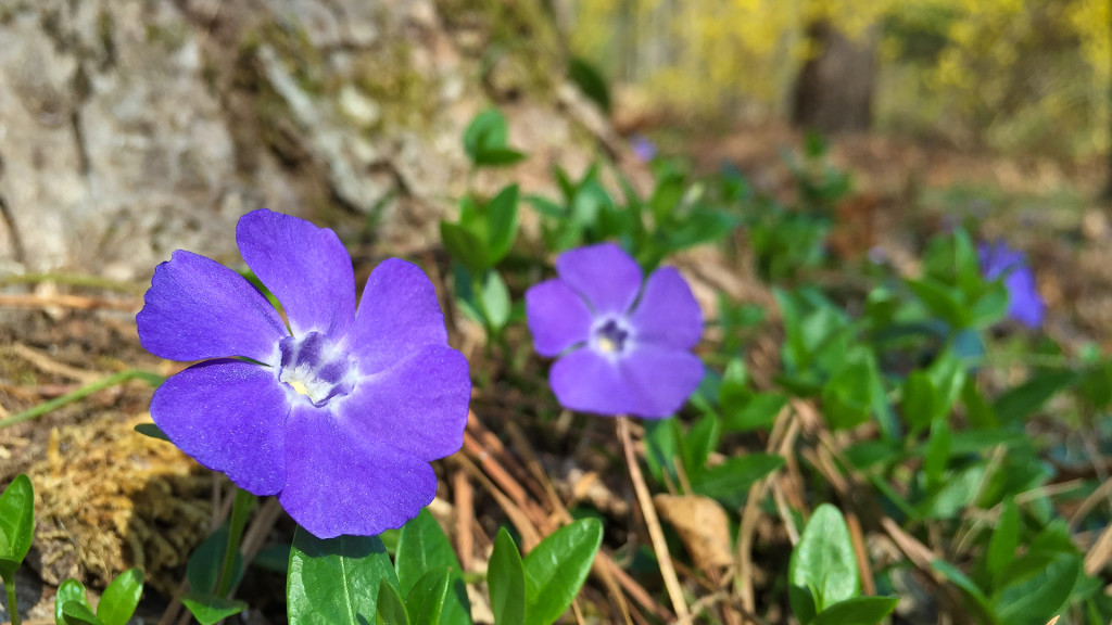 2016-03-24-Periwinkle-Bloom